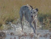 Lurcher in water Royalty-vrije Stock Afbeeldingen
