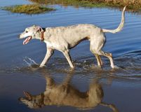 Lurcher dog in water Royalty Free Stock Images