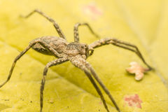 Lurching Spider Royalty Free Stock Images
