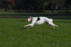 Lure coursing. Geyhound lure coursing at full speed royalty free stock photography