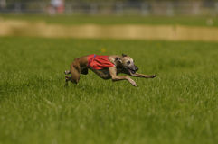 Lure coursing. Whippet lure coursing at full speed Royalty Free Stock Image
