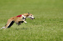 Lure coursing. Whippet lure coursing at full speed Stock Photo