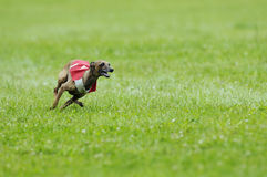 Lure coursing. Greyhound lure coursing at full speed Royalty Free Stock Images