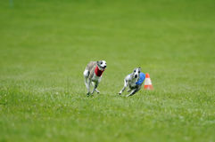 Lure coursing. Whippets lure coursing at full speed Royalty Free Stock Photo