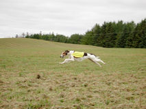 Lure Coursing Stock Photos
