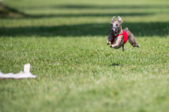 Lure coursing Royalty Free Stock Images