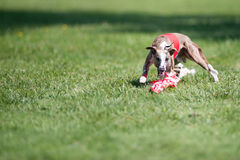 Lure coursing Royalty Free Stock Photography