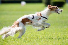 Lure coursing. Dog at full speed on coursing competition Royalty Free Stock Photo