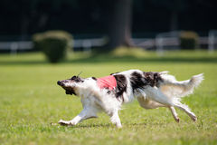 Lure coursing. Dog racing in lure coursing Royalty Free Stock Image