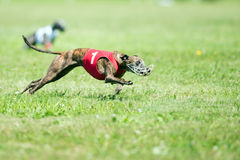 Lure coursing Stock Images