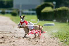 Lure coursing. Dogs chasing lure on coursing competition Stock Image