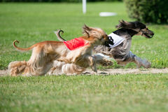 Lure coursing Royalty Free Stock Image