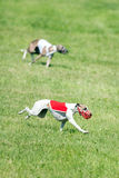 Lure coursing Stock Photography