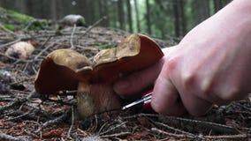 Luridus de Suillellus de la seta con los árboles forestales en el fondo Setas de la cosecha almacen de video