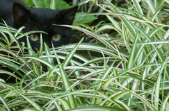 Lurk. Cat lurking in the bushes, waiting for prey Stock Images