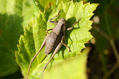 Lurker communs d'arbuste - Pholidoptera-griseoaptera photos stock