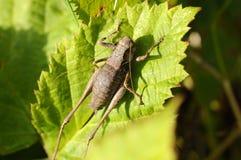 Lurker comuni dell'arbusto - Pholidoptera-griseoaptera fotografie stock