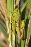 Lurker de marais - Stethophyma-grossum Photos stock