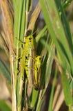 Lurker della palude - Stethophyma-grossum fotografia stock libera da diritti