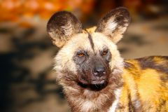 Head of an african wild dog in the sun Royalty Free Stock Image