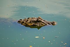 Lurking Alligator. An alligator swimming in a pond Royalty Free Stock Photo