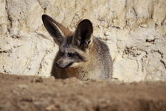 Lurking bat-eared Fox Stock Photography