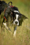 Lurking border collie. Typical position of border collie during lurking Royalty Free Stock Images