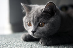 Lurking British Shorthair kitten Royalty Free Stock Photos