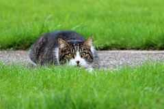 Lurking cat. Cat lurking in the grass Stock Photos