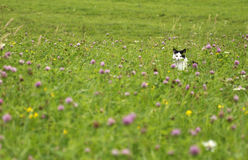 Lurking cat on the summer meadow. Black and white kitty on the blooming meadow Royalty Free Stock Photography