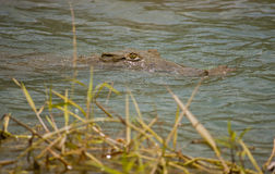 Lurking Crocodile. Crocodile lurking in the Panama Canal Royalty Free Stock Images
