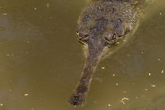 Free Lurking Crocodile Royalty Free Stock Photography - 35469217