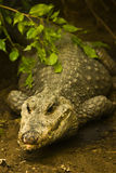 Lurking Crocodile. A dangerous looking crocodile lurking in the wild bushes Royalty Free Stock Photography