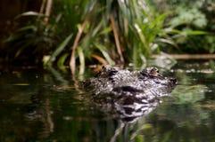 Lurking crocodile. Estuarine crocodile (Crocodylus porosus) peeking out of the water Royalty Free Stock Photo