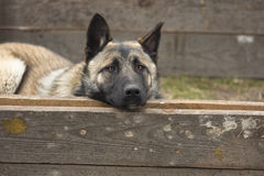 Lurking Dog. German shepherd lies among the wooden boards resting his head Royalty Free Stock Photography