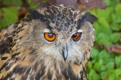 Lurking Eagle Owl Royalty Free Stock Photos