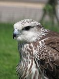 Lurking falcon. Falcon sitting and looking out for prey Royalty Free Stock Photos