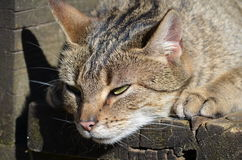 Lurking farm cat. Tabby cat lurking for prey on a weathered wooden veranda of a farm house Stock Images