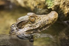 Caiman head poping out of water royalty free stock images