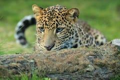 Lurking javan leopard Royalty Free Stock Photo