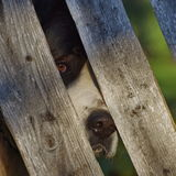 Lurking Moscow Watchdog. A Moscow Watchdog lurking behind a wooden fence Royalty Free Stock Photography