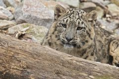 Lurking Snow Leopard Royalty Free Stock Image