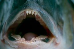 Lurking teeth. Macro of a dorada head - fearsome teeth stock photo