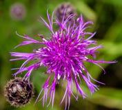 Lurvig blomma av bergblåklint royaltyfri foto
