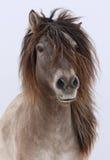 lurvig häst Arkivfoto