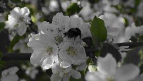 Lurvig humla på blomman av det Apple trädet royaltyfria foton