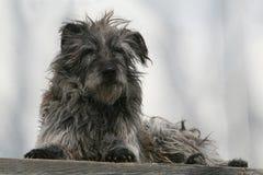 lurvig hund Arkivbild