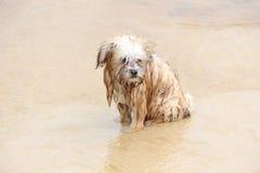 Lurvig våt hund på den sandiga stranden arkivbild