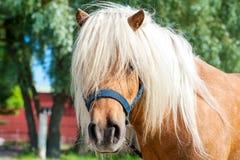Lurvigt huvud för palominoshetland ponny Closeupsummetime utomhus I royaltyfri bild