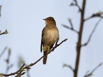 Luscinia Luscinia τσιχλών nightingale Στοκ Φωτογραφίες
